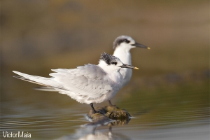 Garajau-de-bico-preto | Sandwich Tern (Sterna sandvicensis)