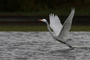 Garça-branca-grande   Great Egret (Ardea alba)