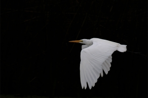Garça-branca-grande | Great Egret (Ardea alba)