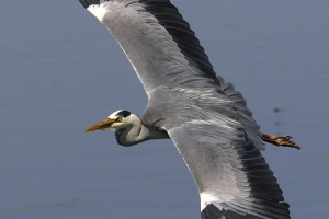 Garça-real | Grey Heron (Ardea cinerea)