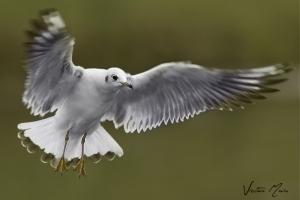 Guincho | Black-Headed Gull (Larus ridibundus)