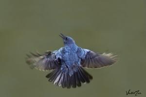 Melro-azul (Monticola solitaríus)