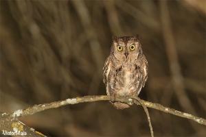 Mocho-d'orelhas | Scops Owl (Otus scops)
