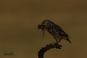 Mocho-galego   Little Owl (Athene noctua)