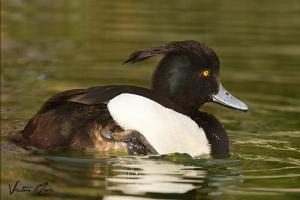Negrinha   Tufted Duck (Aythya fuligula)