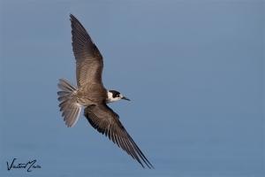 Gaivina-preta   Black Tern (Chlidonias niger)