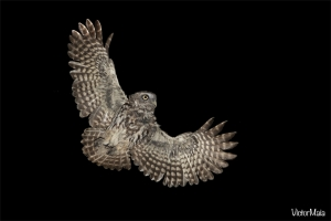 Mocho-galego   Little Owl (Athene noctua