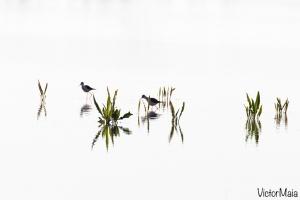 Pernilongo | Black-winged Stilt (Himantopus himantopus)