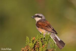 Picanço-de-dorso-ruivo | Red-backed shrike (Lanius collurio)