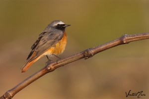 Rabirruivo-de-testa-branca   Common Redstart (Phoenicurus phoenicurus)