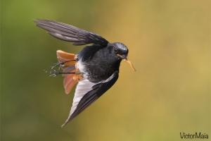 Rabirruivo-preto | Black Redstart (Phoenicurus ochruros)