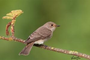 Taralhão-cinzento | Spotted Flycatcher (Muscicapa striata)