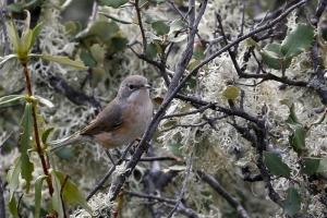 Toutinegra-carrasqueira (Sylvia cantillans)