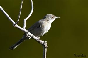 Toutinegra-real  / Western Orphean Warbler  (Sylvia hortensis)
